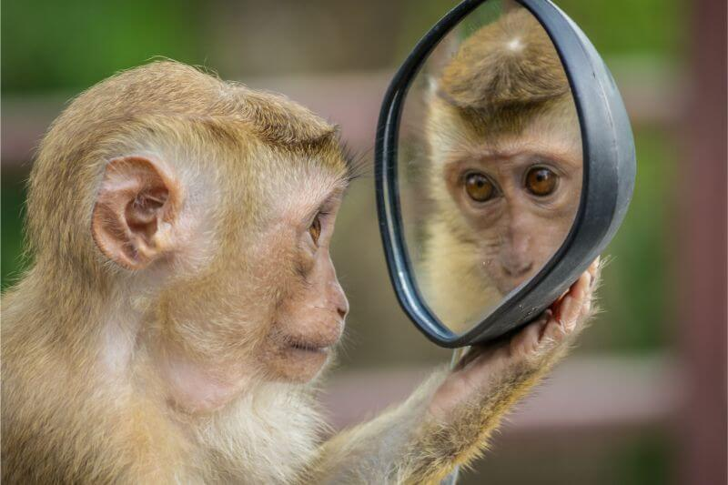 A monkey looking at a face in a mirror
