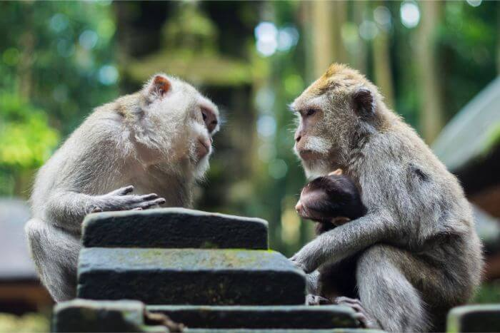 Two gray monkeys talking