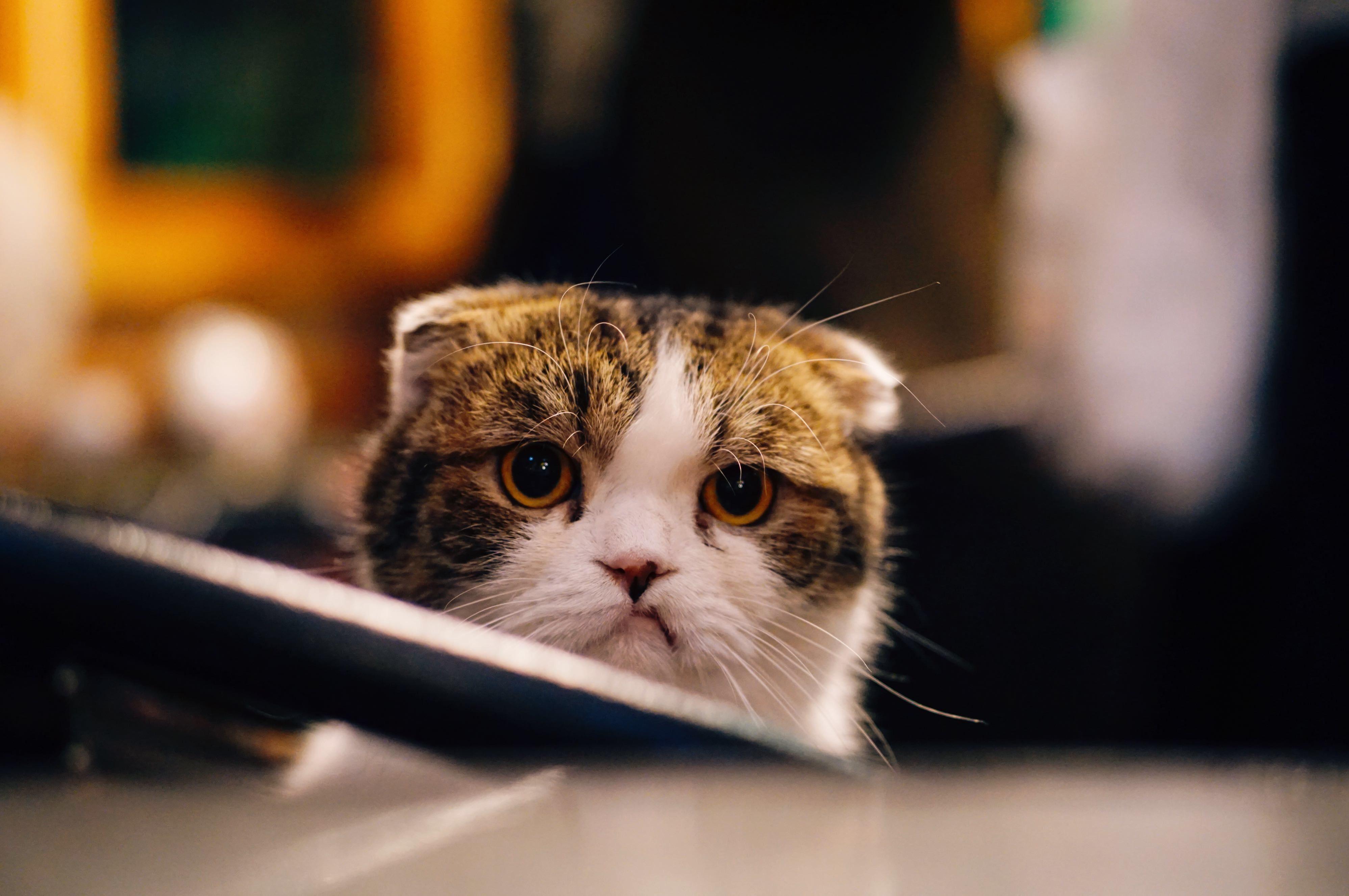しょんぼり顔の猫